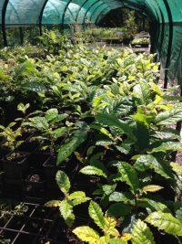 Davidsonia pruriens tubestock