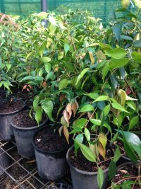 Syzygium leuhmannii, Riberry, 150mm pots